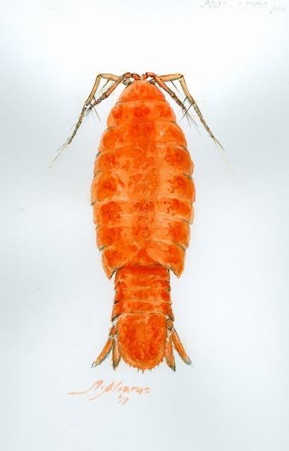 Isopodo
