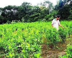 Cultivos hoja de coca