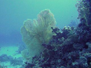 Gorgonia-coral-510x382[1]