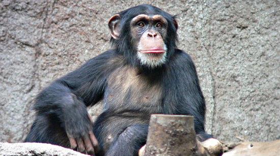 Schimpanse_Zoo_Leipzig