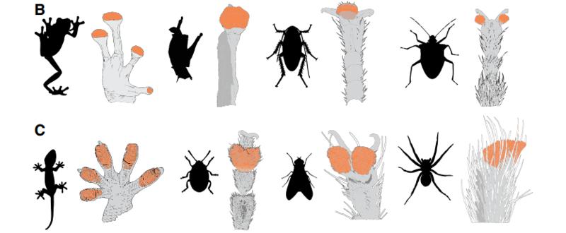 Adhesive-foot-padding-on-various-wall-crawling-animals