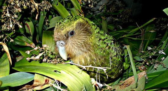 KakapoSirocco