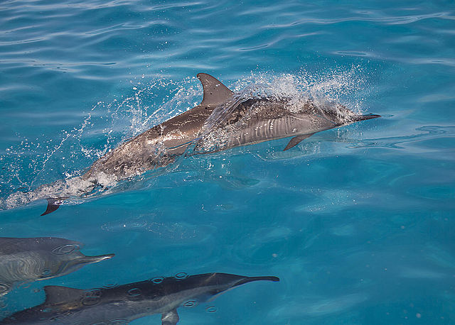 640px-Spinner_dolphins_Foto U.S. Fish and Wildlife Service Headquarters