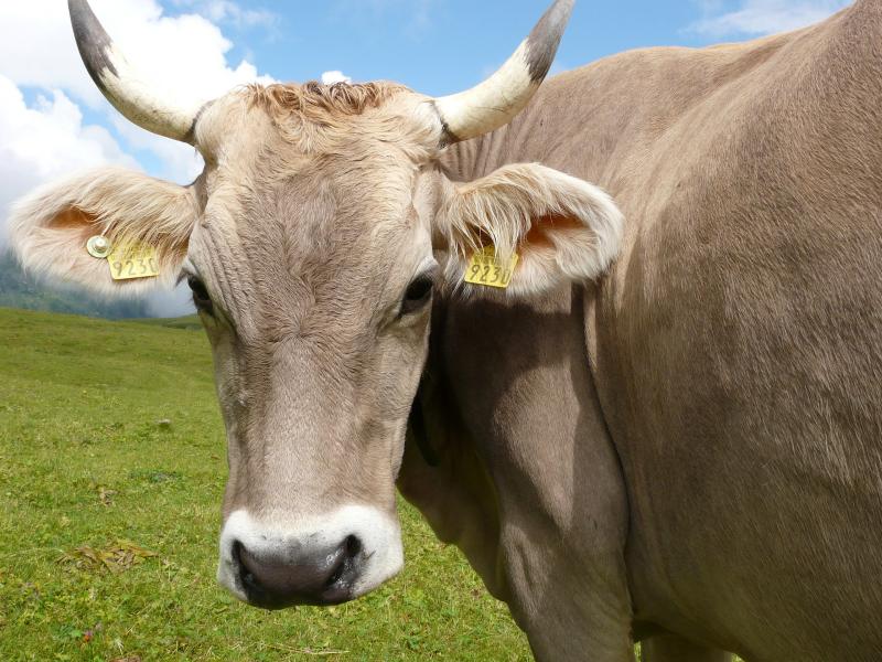 Cow-2455001_1920