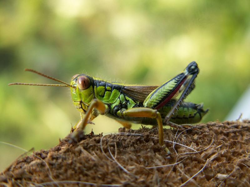 Grasshopper-63174_1920