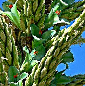 Puya_chilensis