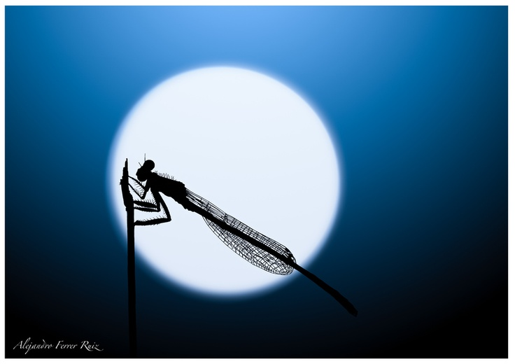 Libélula en la noche (Alejandro Ferrer Ruiz)