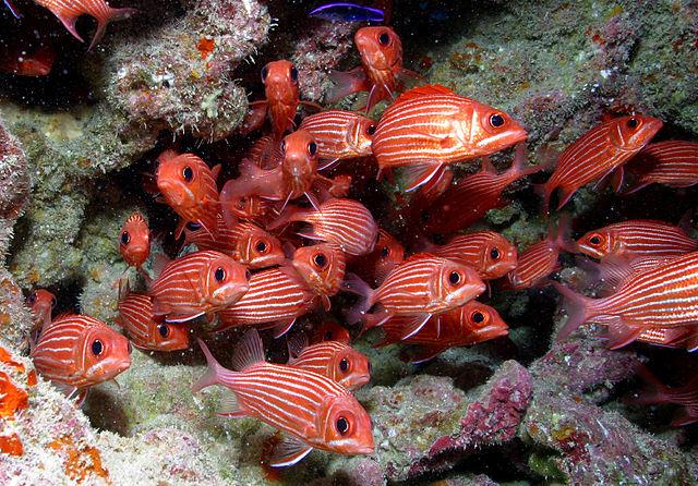640px-Red_Fish_at_Papahānaumokuākea_ Foto U.S. Fish and Wildlife Service Headquarters