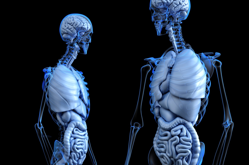Anatomical-2261006_1920