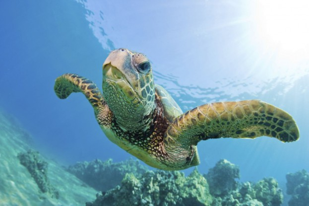 SeaTurtleGreen1-623x415